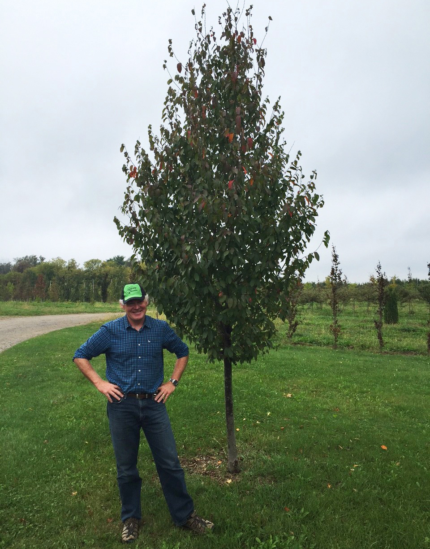Rising Fire Hornbeam Tree